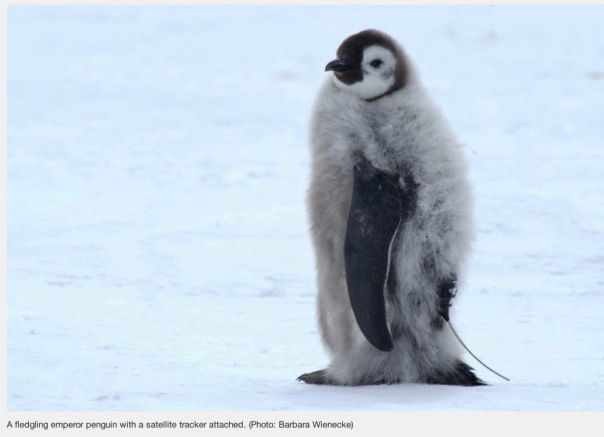 Emperor Penguin with tracker_  AAD web site